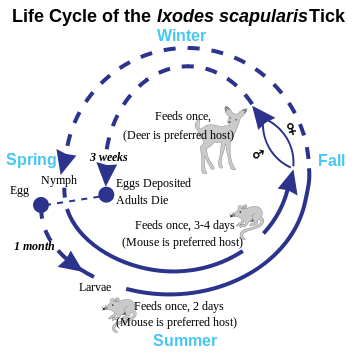 354px-Deer Tick life cycle.svg