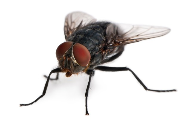 Musca domestica Housefly