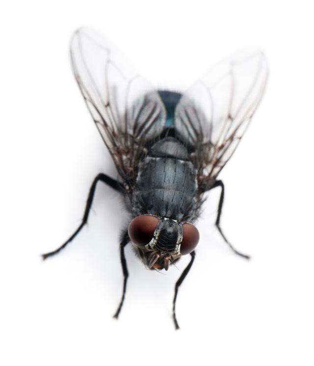 Housefly Musca Domestica
